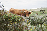 Netherlands, Bergen aan Zee, Buffalo standing behind shrubs, horse grazing in background - MADF000585