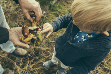 Little boy looking at bay bolete mushrooms in man's hand - MFF002425