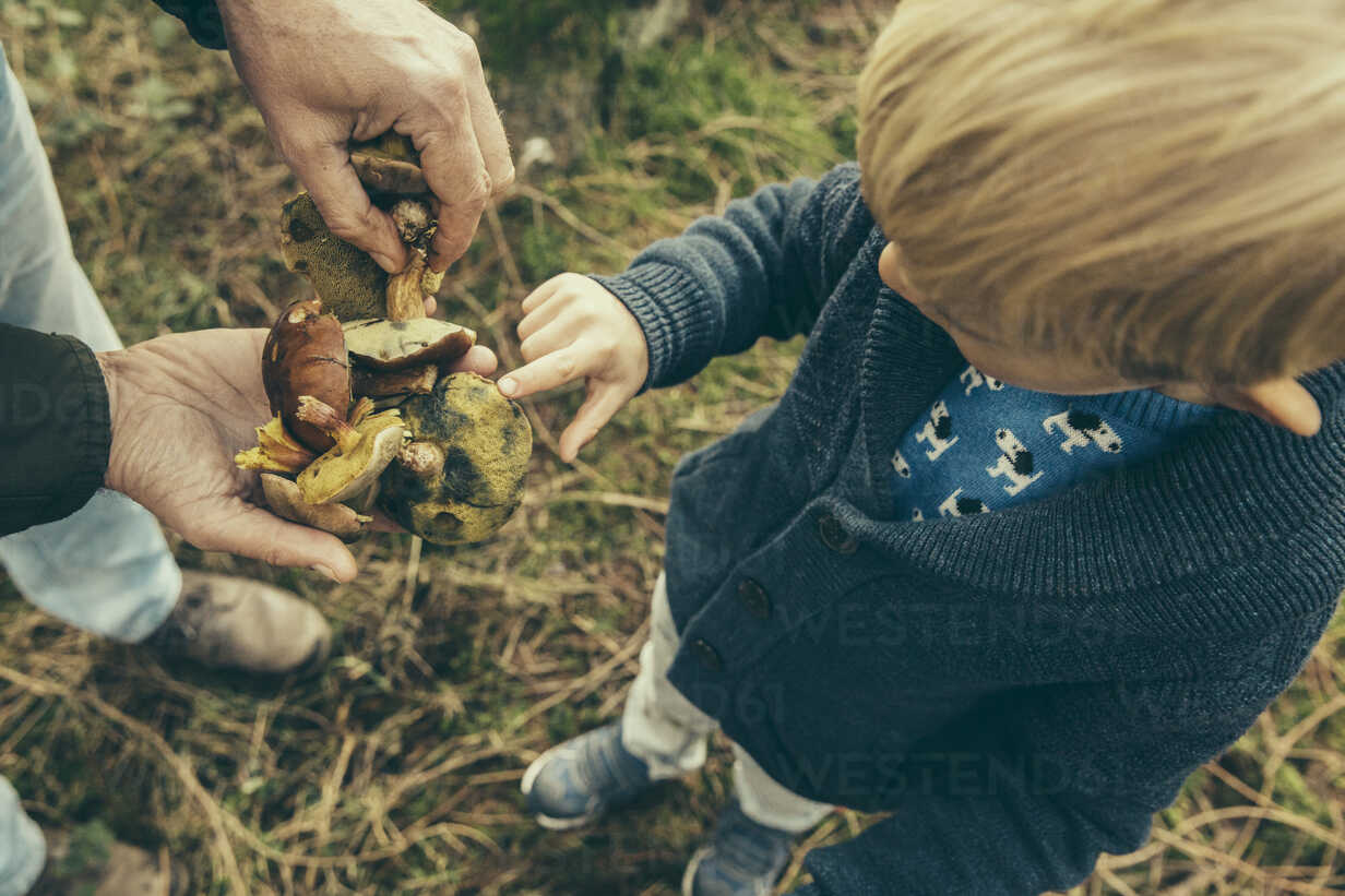 Little boy looking at bay bolete mushrooms in man's hand - MFF002425 - Mareen Fischinger/Westend61