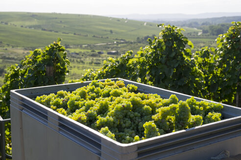 Germany, Lower Franconia, Grape harves near Kohler village, green grapes in crate - SIEF006834
