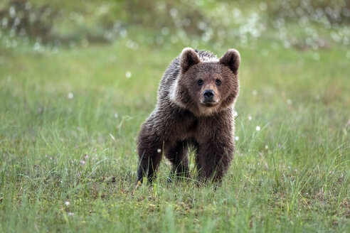 Finland, Kuhmo, brown bear standing on a meadow - ZC000348