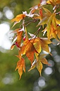Twig with autumn leaves - JTF000710