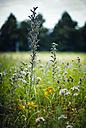 Hyssop on a meadow - DASF000009