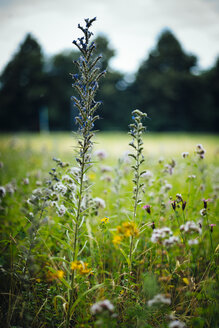 Hyssop on a meadow - DASF000009