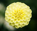 Yellow dahlia - MGOF000957