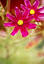 Pink Mexican Aster - MGOF000960