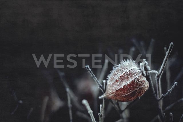 Hoarfrost on Chinese lantern flower - DWIF000629