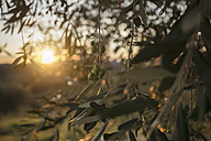 Italy, Tuscany, Maremma, olive tree at sunset - RIBF000323