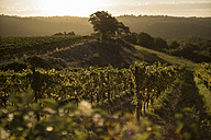 Italy, Tuscany, Maremma, vineyard in morning light - RIBF000338