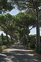 Italy, Tuscany, Maremma, pine-lined road - RIBF000353