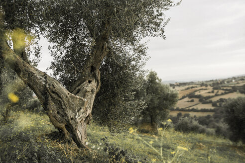 Italy, Tuscany, Maremma, olive tree on hill - RIBF000365