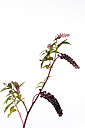 Twig of American pokeweed in front of white background - CSF026589