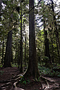 Canada, Vancouver Island, redwoods and ferns in rain forest - TMF000043