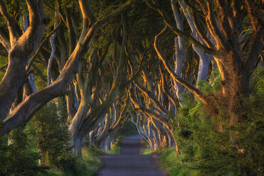 Northern Ireland, near Ballymoney, alley and beeches, known as Dark Hedges - ELF001705