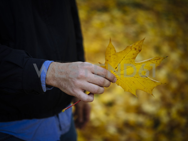 Hand of man holding autumnal maple leaf - DASF000024 - David Stoll/Westend61