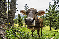 Italy, South Tyrol, Cow eating - LOMF000080