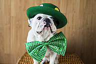 Portrait of French Bulldog dressed up with green hat and bow tie - KIJF000022