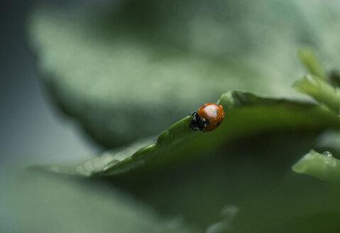 Wet ladybug on a leaf - JPF000069
