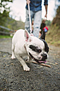 Portrait of French bulldog pulling at dog lead - RAEF000657