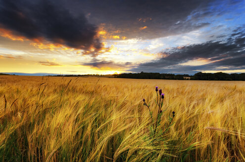 Scotland, East Lothian, Field of barley and thistle at sunset - SMAF000394