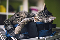Tabby cat sleeping on a little bag at home - RAEF000662