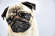 Portrait of a pug - JATF000778