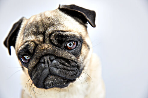 Portrait of a pug - JATF000778