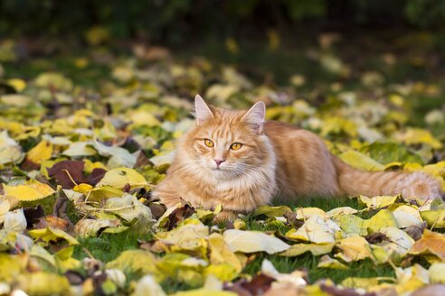 Tabby cat lying on a meadow covered with autumn leaves - YFF000477