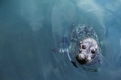 Canada, Vancouver Island, Longbeach, Harbour seal in water - TMF000058