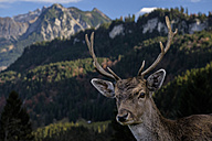 Germany, Allgaeu, Portrait of fallow buck - HAMF000106