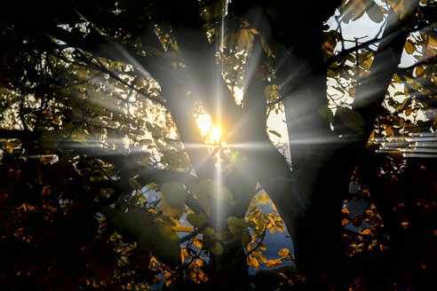 Walnut tree in autumn in backlight - HOHF001380
