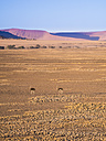 Africa, Namibia, Namib desert, african ostriches - AMF004471
