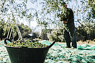 Spain, Tarragona, basket of harvested olives - JRFF000221