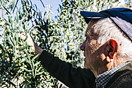 Spain, Tarragona, Senior man hand harvesting olives for oil - JRFF000224