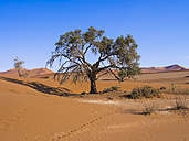Namibia, Hardap, Naukluft Park, camel thorn at edge of Namib Desert - AMF004505