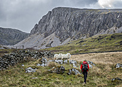 UK, Wales, Cadair Idris, Cyfrwy Arete, woman hiking on sheep pasture - ALRF000217