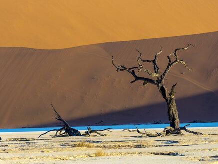 Namibia, Naukluft Park, Namib Desert, Dead Vlei, dead camel thorn in front of dune - AMF004529