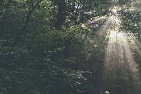 Germany, Saxony, sunbeams falling through trees in forest - MJF001682