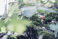 Germany, Saxony, fly agaric growing on forest soil - MJF001688