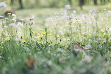 Germany, Saxony, wildflower meadow in spring - MJF001700