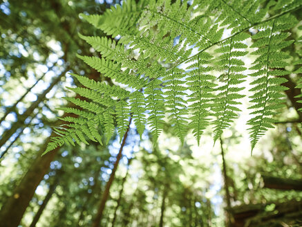 Canada, British Columbia, fern leave, Polypodiopsida, in forest - DISF002273