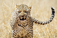 Leopard with aggressive expression - GEMF000545