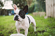 French bulldog standing on meadow - RAEF000721