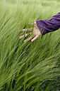 Hand of teenage girl touching spikes in a barley field - LBF001313