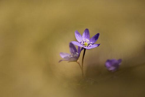 Liverworts flower, Hepatica nobilis - BSTF000100