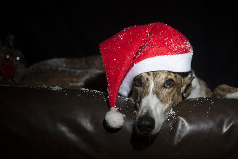Greyhound dressed for Christmas holidays - SKCF000030