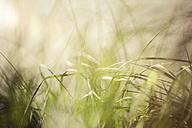 Green grasses against the light - KRPF001671