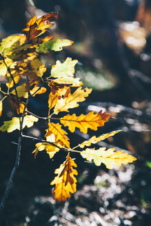Autumn leaves - BZF000276