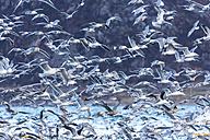 Norway, Troms, flock of seagulls - STSF000984