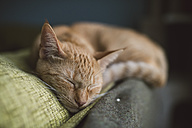 Portrait of tabby cat sleeping on backrest of a couch - RAEF000756
